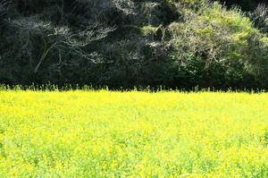 菜の花畑のサムネール画像
